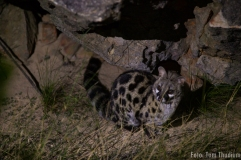 large spotted genet