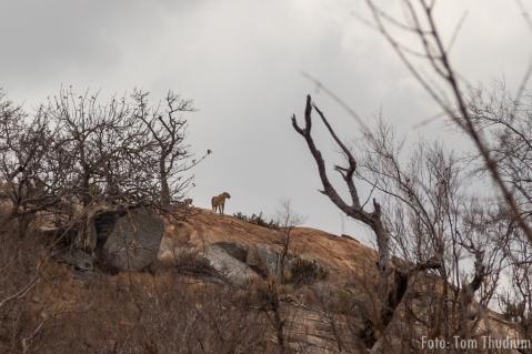 Löwe in der Ferne