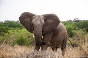 Elefant-Ohren raus