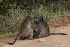 Baboon Familie, Krüger - sooooo süß