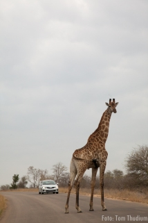 Giraffe on the road, Krüger