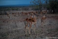 Impalas, Krüger