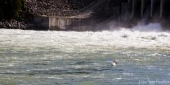 Pelikan, Teton